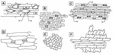 In the monocotyledons (Fig. 3), the epidermal cells are usually ...